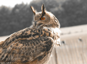 'The Hoot Owl' aka the Great Horned Owl