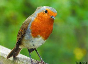 'Inquisitive Robin'